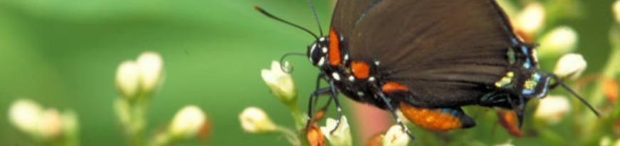 greatpurplehairstreak