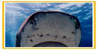 shark snout - wikimedia.jpg
