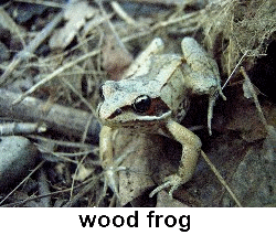 What Made the Frogs Go Quiet? | Ask a Naturalist®