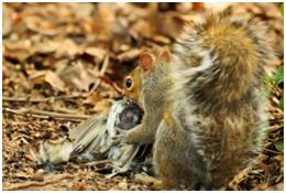 gray squirrel eating carrion