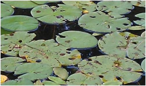 pockmarked lily pads