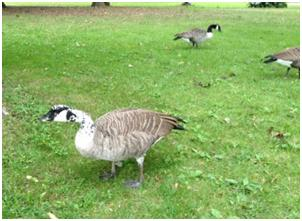Goose with speckled head