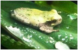 Cope's/gray tree frog