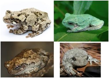 various colors of gray/Cope's tree frog