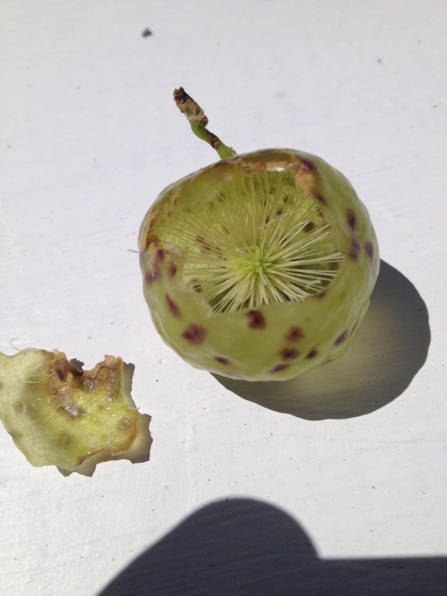 do fruit flies bite green fruit with seeds