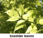 boxelder leaves