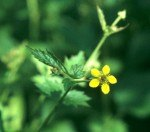 small yellow flower and stem