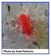 spider mites ask a naturalist. Black Bedroom Furniture Sets. Home Design Ideas