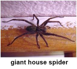 giant house spider