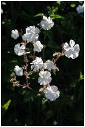 white campion flowers