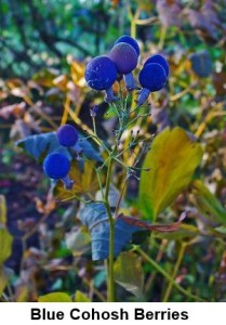 Blue Cohosh berries
