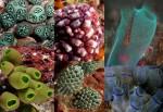 various tunicates
