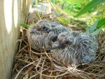 mourning-dove-chicks