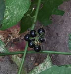 small black berries