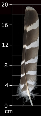 red shouldered hawk feather